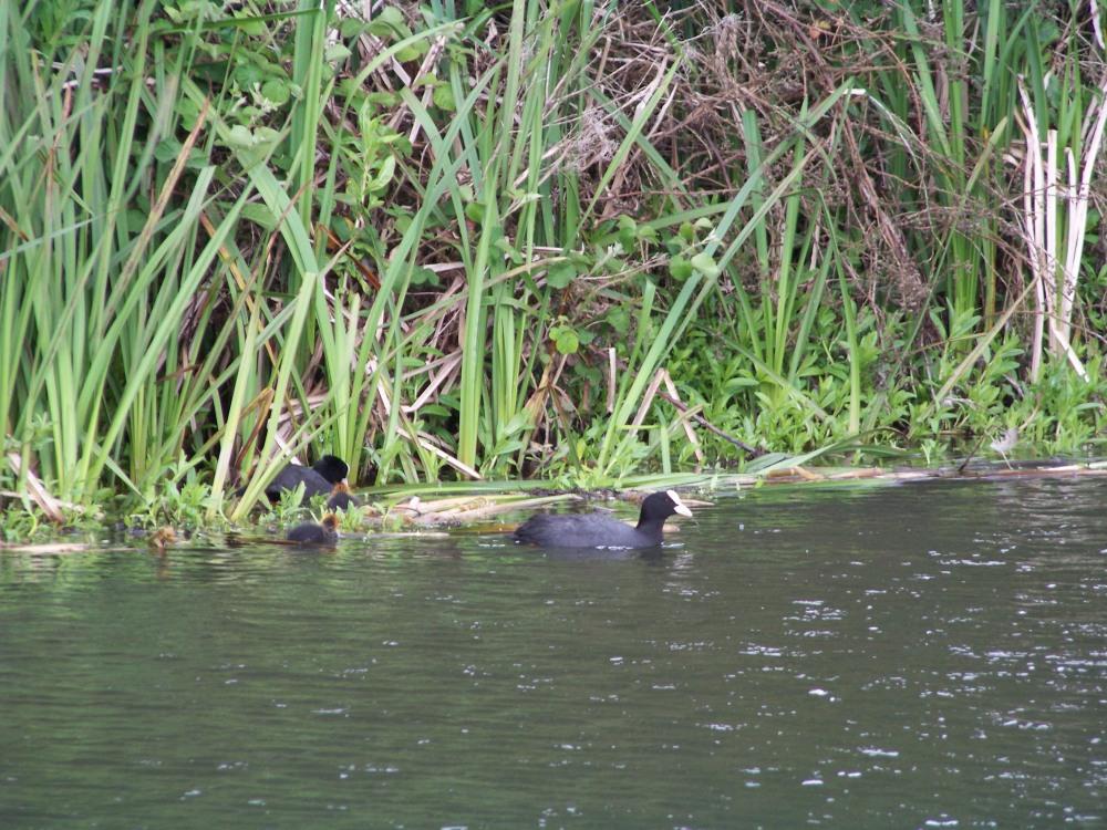 Enten und Junge