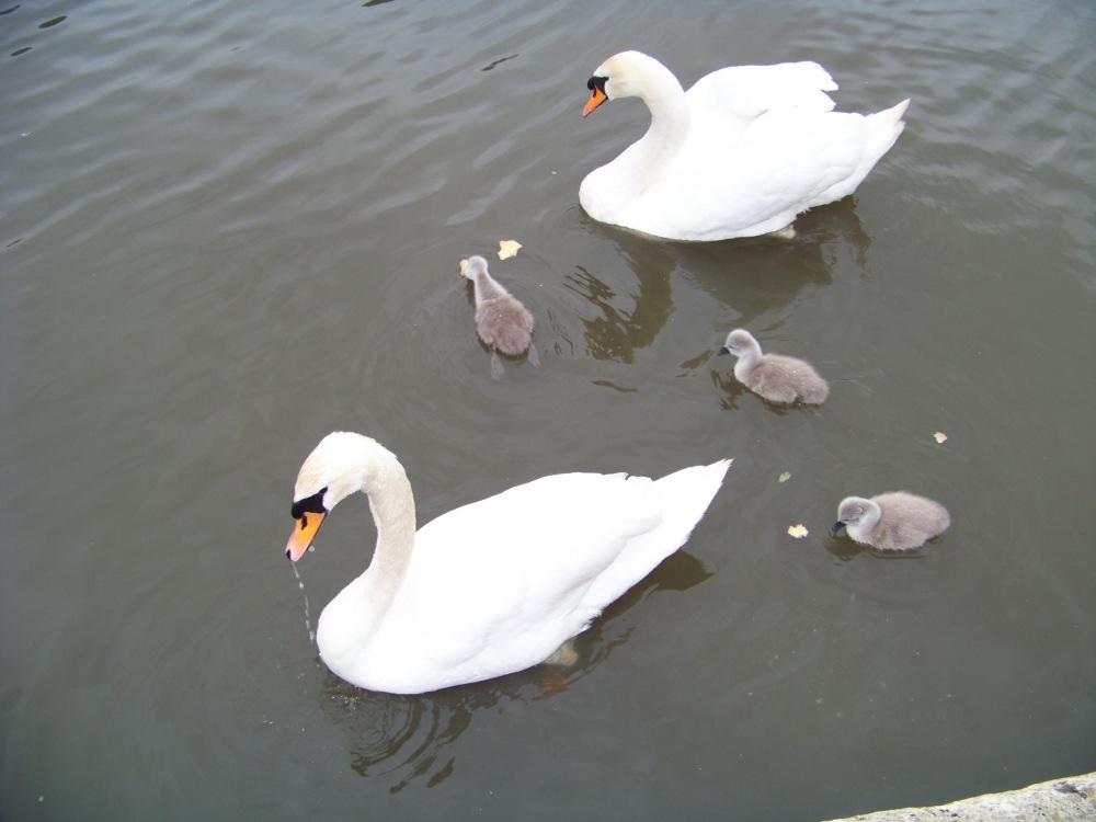 Familie Schwan