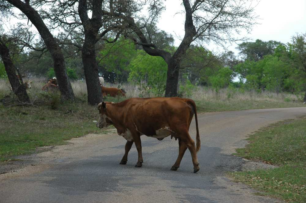 cattle in the road