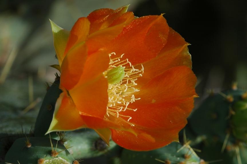 cactusblossom