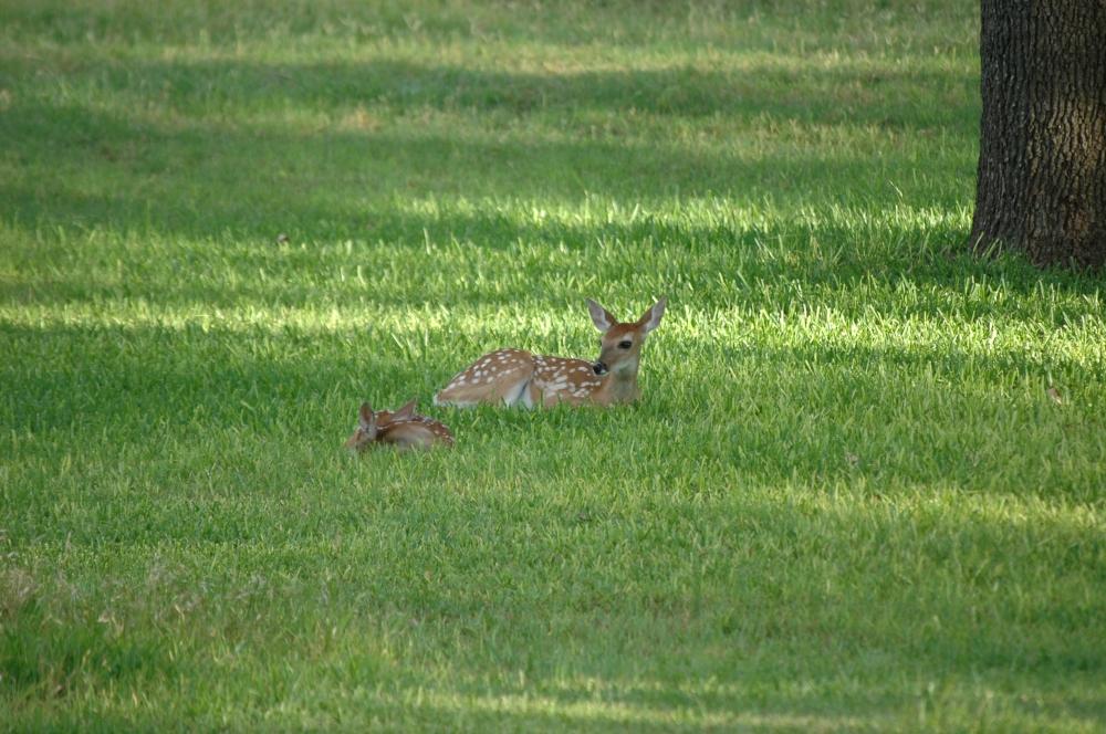 bambis