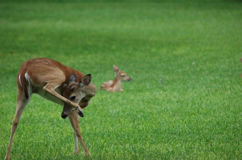 deer gymnastics