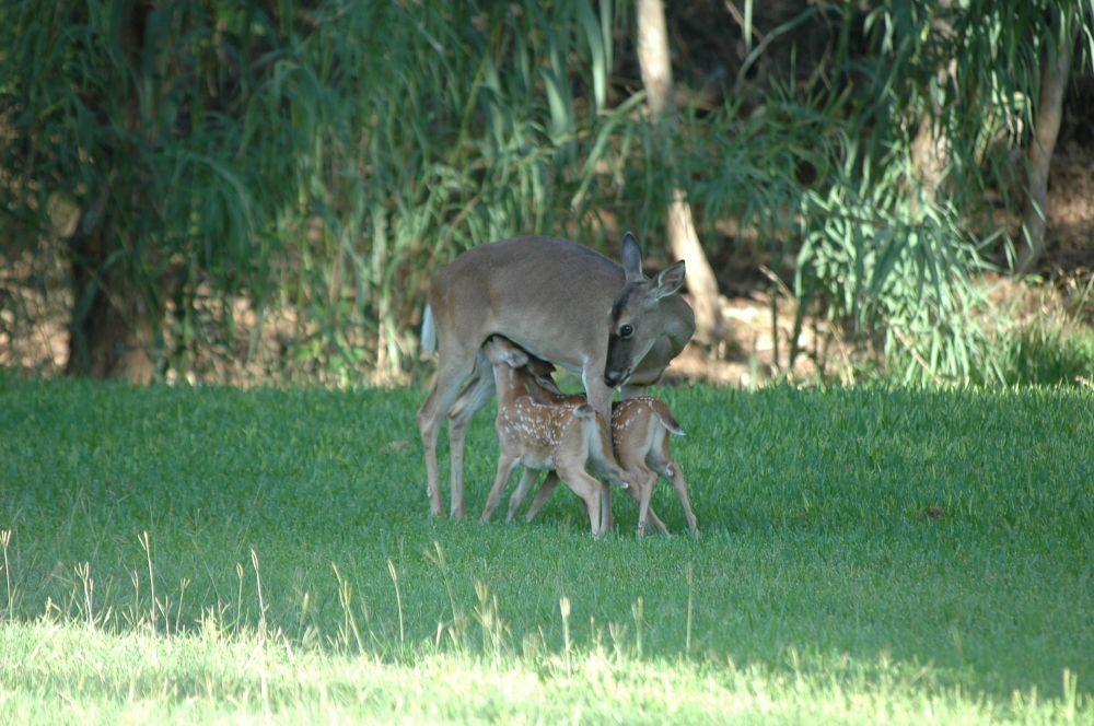 fawns suckling