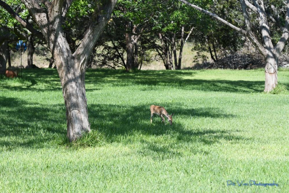 fawn grazing