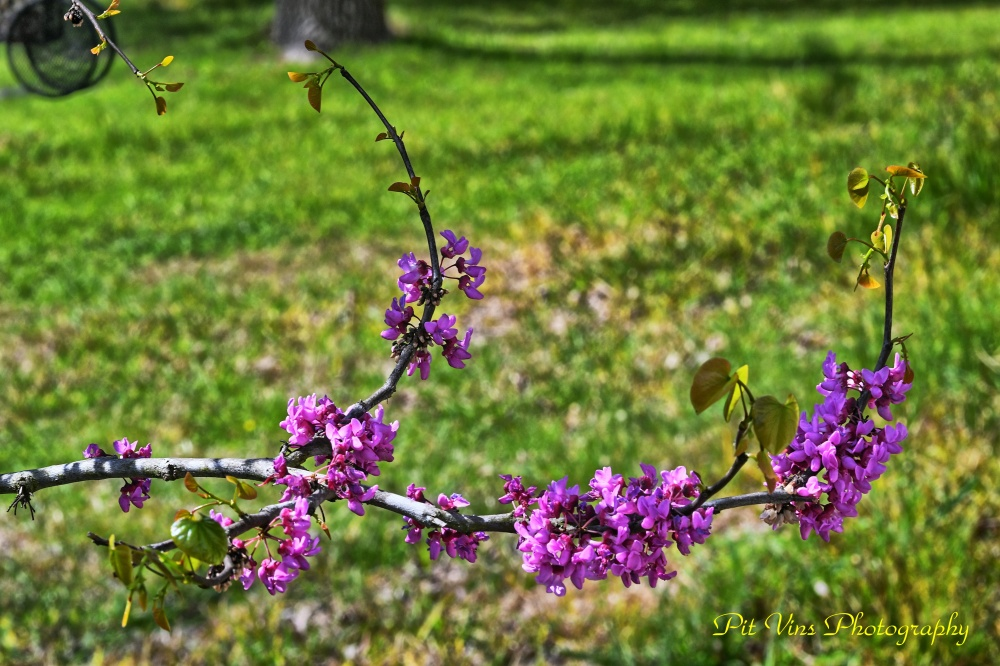 Redbud Blossoms and Leaves