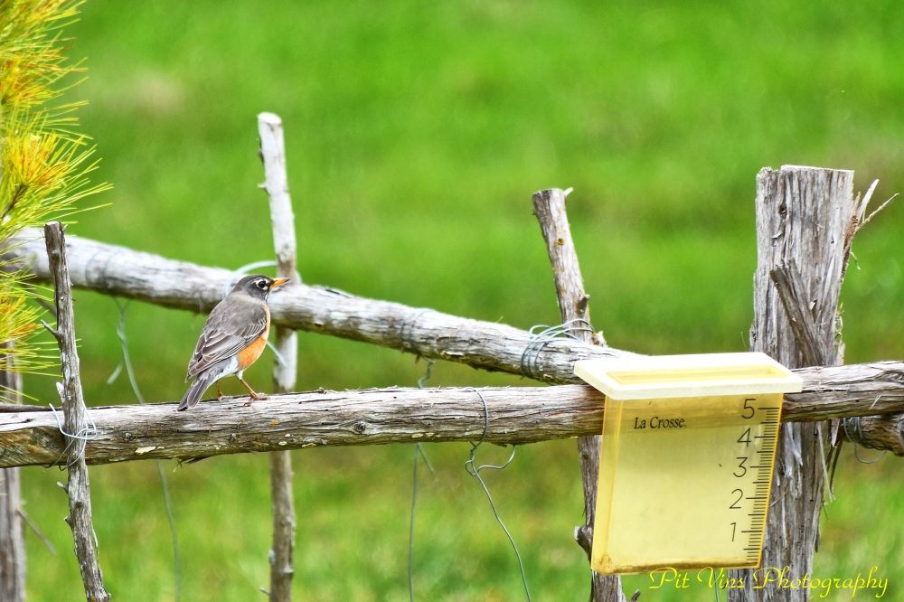 Robin and Rain Gauge