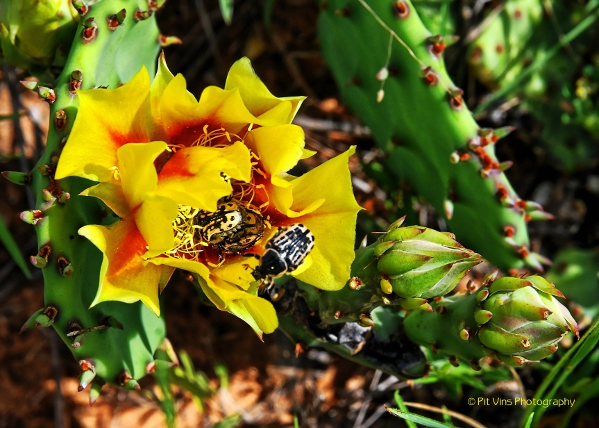 cactus blossom w/ beetles crawling around in it